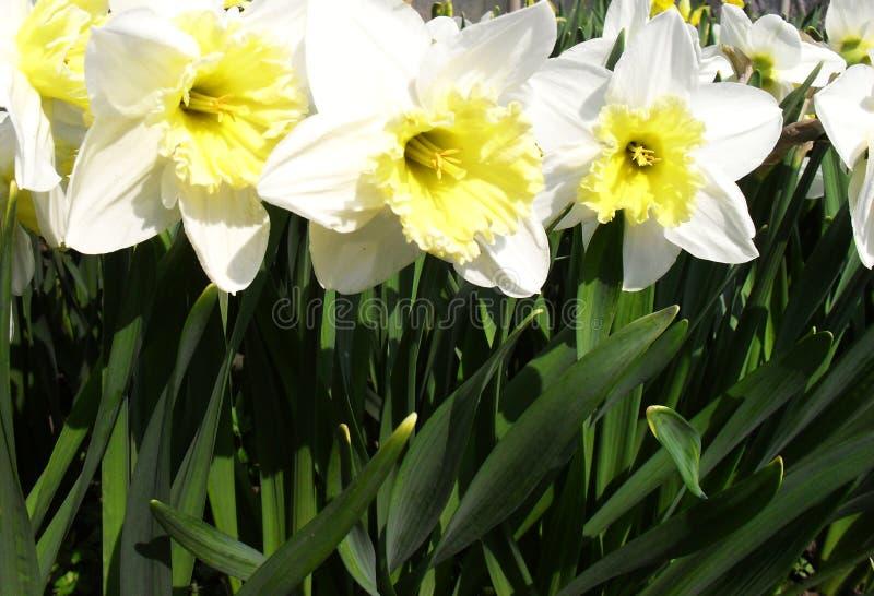 美丽的白花水仙特写镜头  精美白色黄水仙在庭院里在一明亮的好日子 免版税库存照片