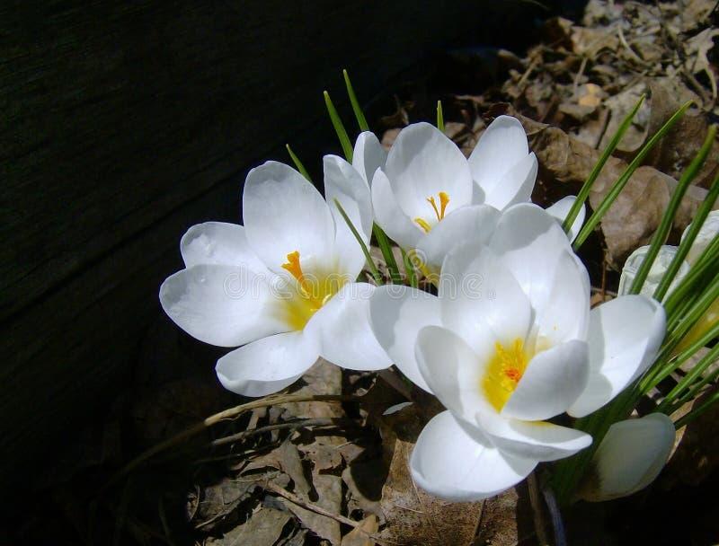 美丽的白花番红花紧密Vernus 库存图片