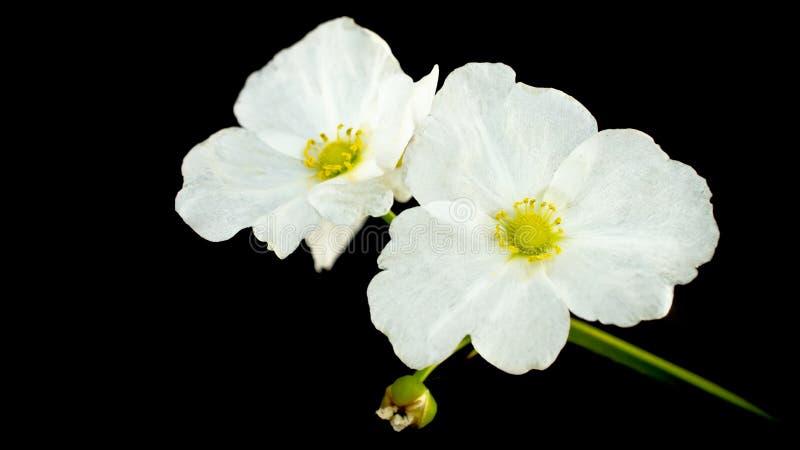 美丽的白花, Echinodorus cardifolius 免版税图库摄影