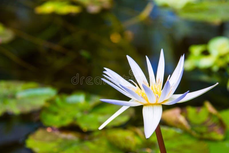 美丽的白莲教在植物园里 库存照片
