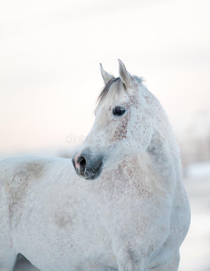 美丽的白马在冬天 免版税图库摄影
