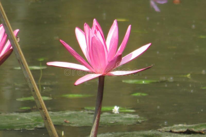 美丽的百合池塘水 免版税库存照片