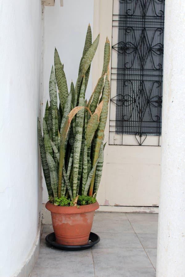 美丽的百合科植物植物 免版税库存照片