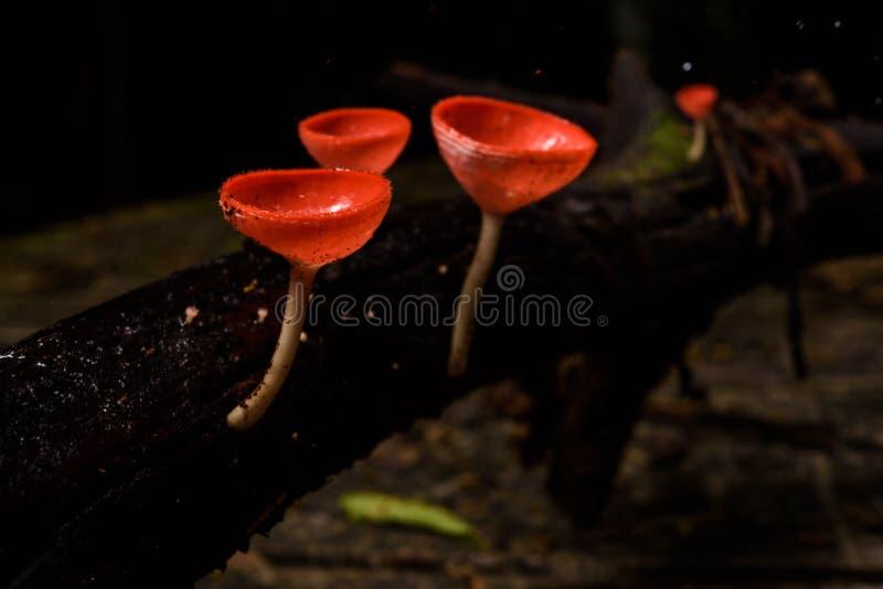 美丽的真菌杯子在雨林里 免版税库存照片