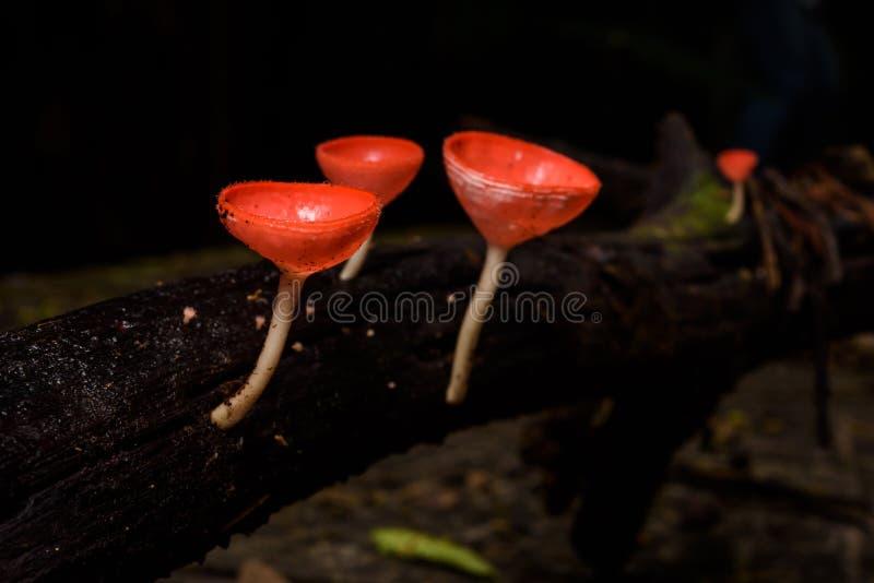 美丽的真菌杯子在雨林里 库存照片