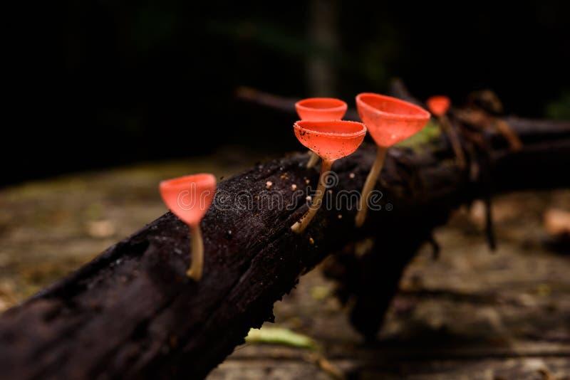 美丽的真菌杯子在雨林里 库存图片