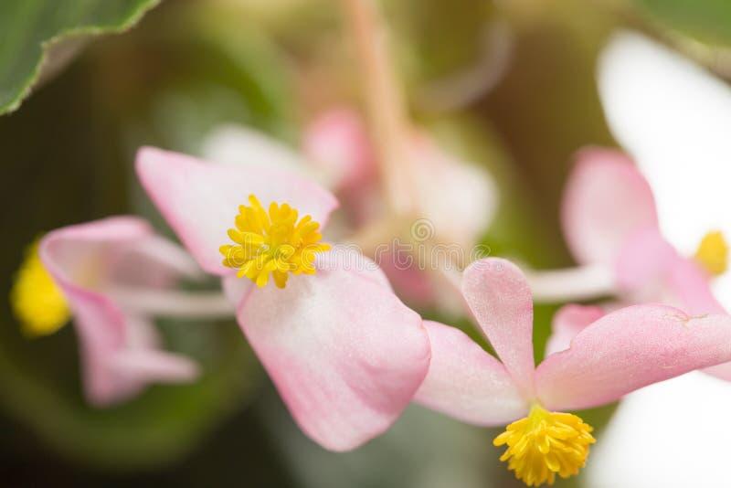 美丽的矮小的桃红色花 特写镜头 免版税图库摄影
