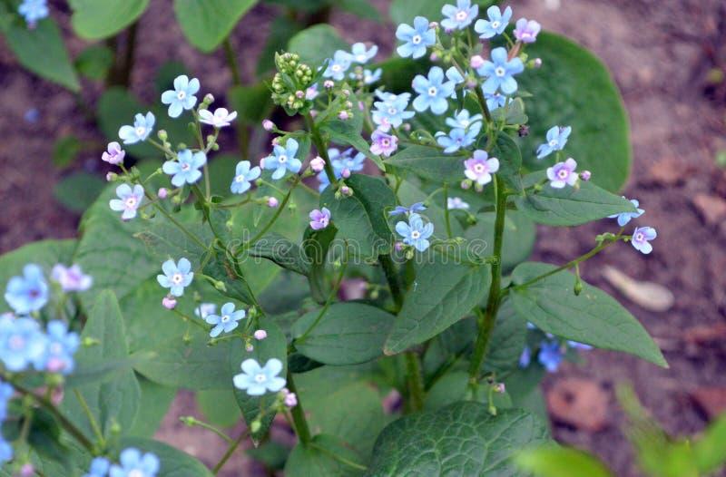 美丽的矮小的蓝色花,自然秀丽在细节 免版税库存图片