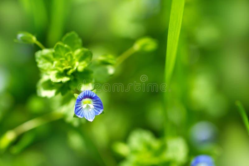 美丽的矮小的蓝色花 免版税库存照片