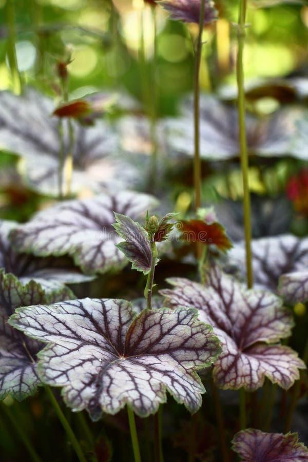 美丽的矾根属植物 库存照片