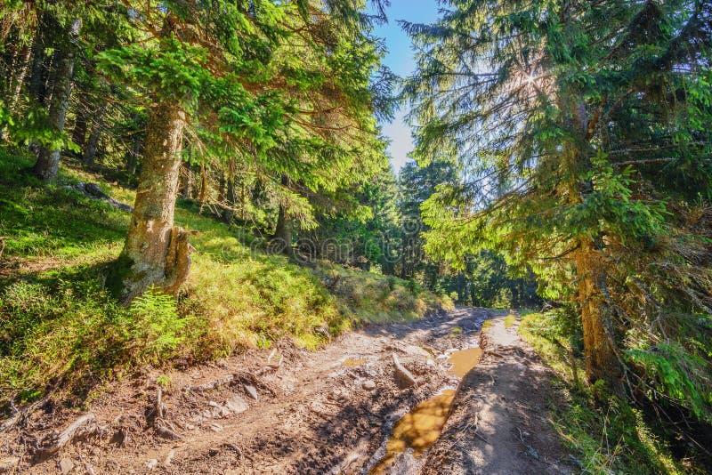 美丽的神仙的老杉木森林在清早在阳光下我 库存图片