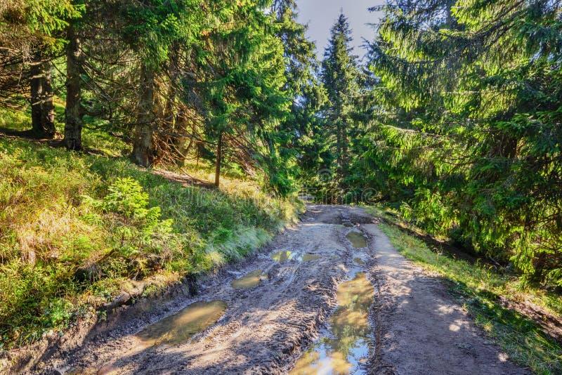 美丽的神仙的老杉木森林在清早在阳光II下 免版税库存图片