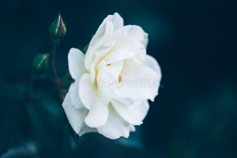 美丽的神仙的梦想的不可思议的白色米黄乳脂状的玫瑰在退色的模糊的青绿的背景开花 图库摄影