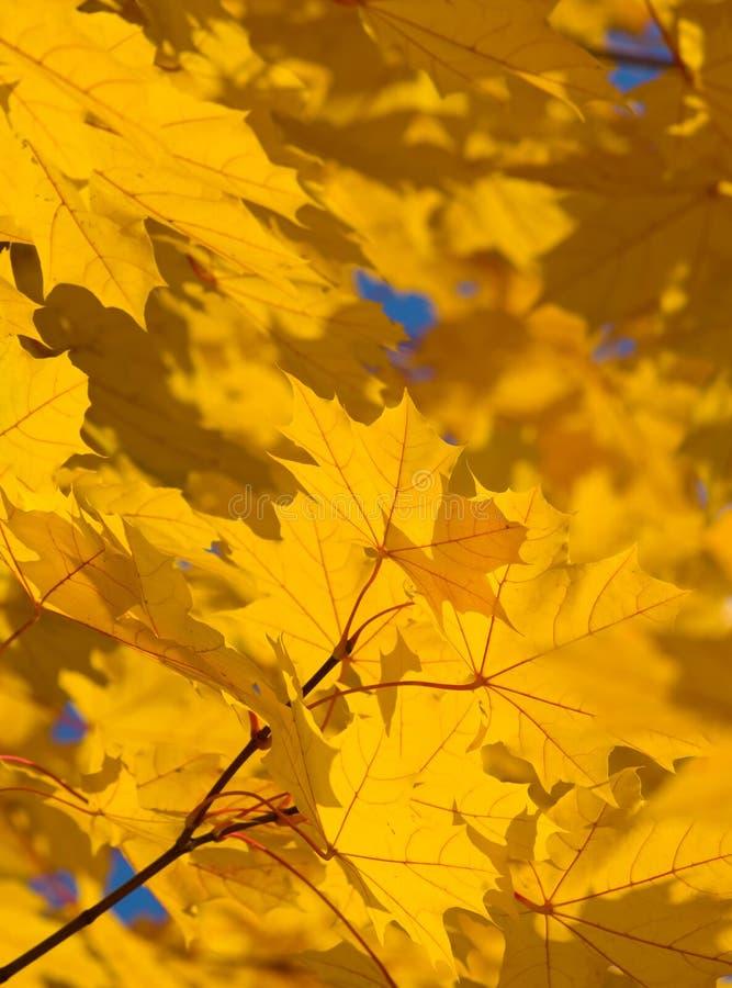美丽的秋叶 免版税库存照片