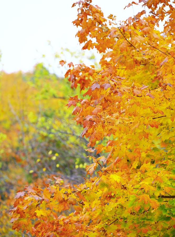 美丽的秋天树。秋季风景。 免版税图库摄影