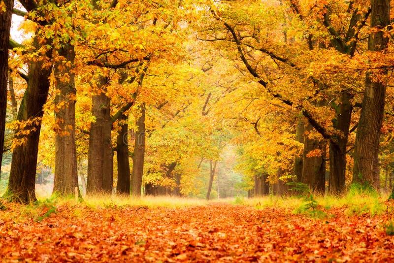 金黄森林在秋天 免版税图库摄影