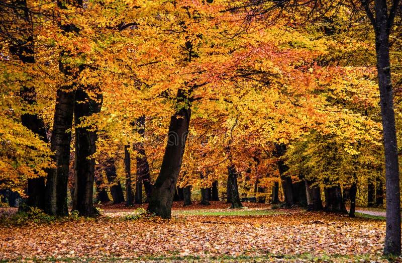 美丽的秋天森林,有五颜六色的橙色叶子的,典型的秋天风景 库存照片