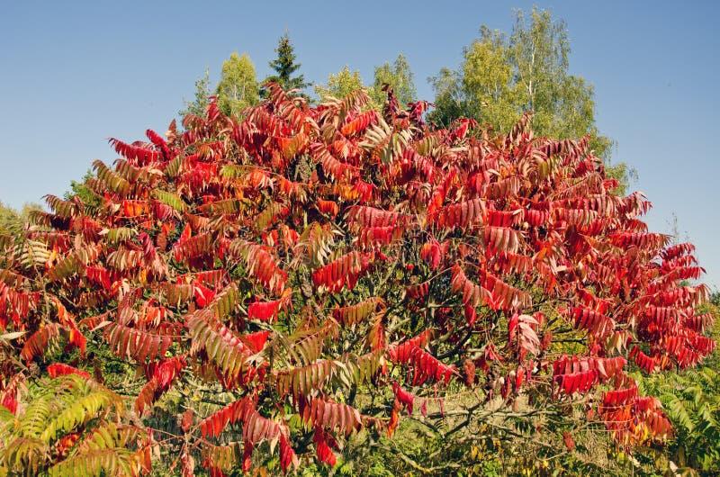 美丽的秋天Stahhorn黄栌(漆树typhina)叶子 库存图片