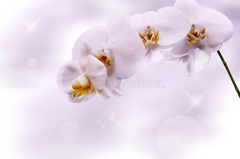 美丽的空白兰花 免版税库存图片