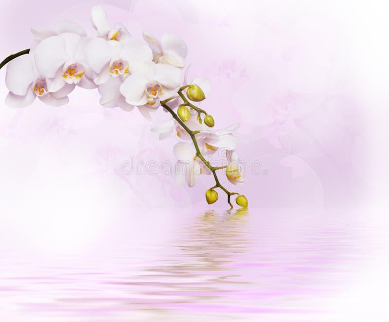 美丽的空白兰花 库存照片