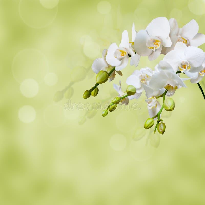 美丽的空白兰花 免版税库存照片