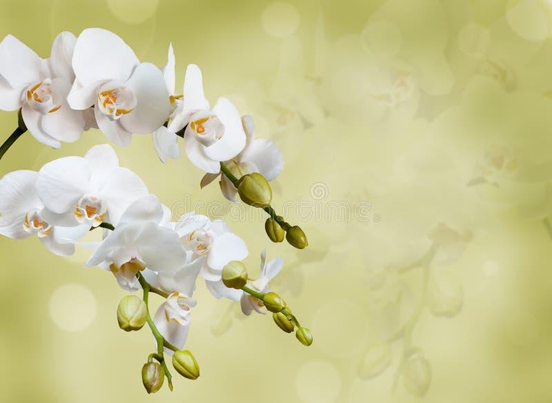 美丽的空白兰花 图库摄影