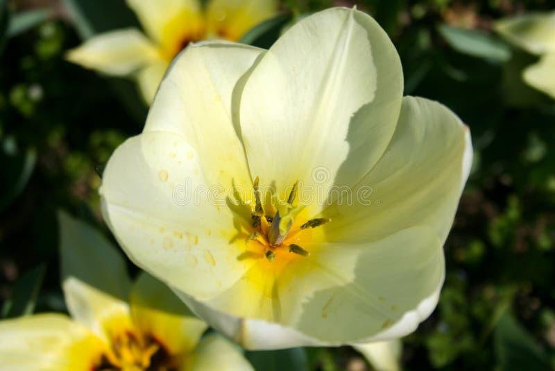 美丽的空白郁金香 免版税图库摄影