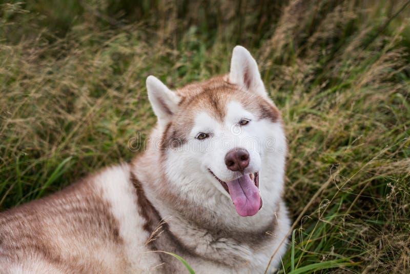 美丽的米黄和白色西伯利亚爱斯基摩人狗特写镜头画象与在草草甸的棕色眼睛的在日落 免版税图库摄影