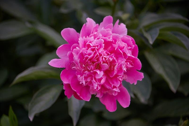 美丽的粉色牡丹,背景很暗。春花,盛开,浪漫。美丽的粉色牡丹,背景很暗。春花,盛开,浪漫ã 库存照片