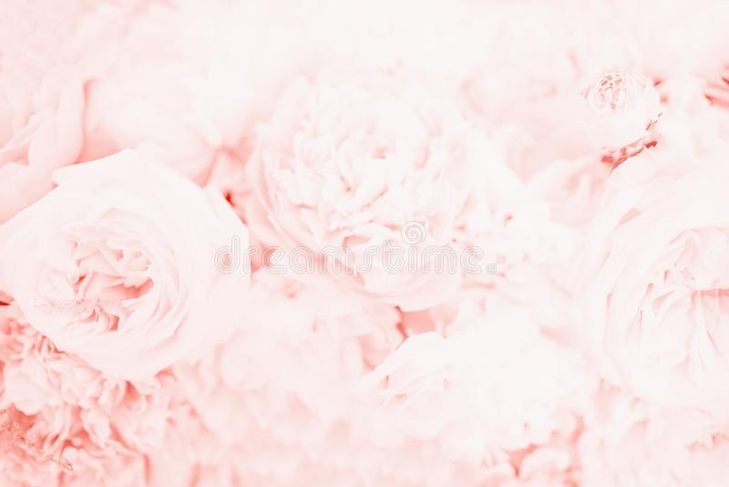 美丽的精美牡丹花 花卉背景,浅粉红色的珊瑚,软的颜色 免版税库存照片