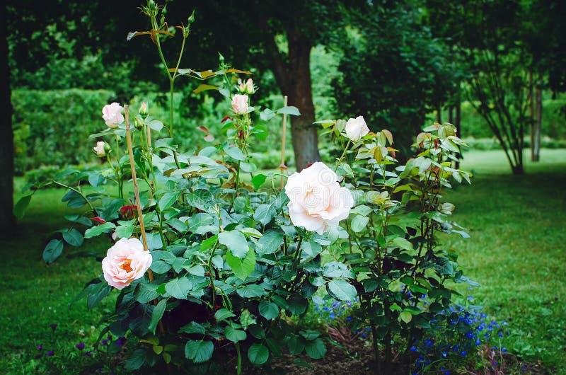 美丽的精美玫瑰在夏天庭院里开花 库存照片