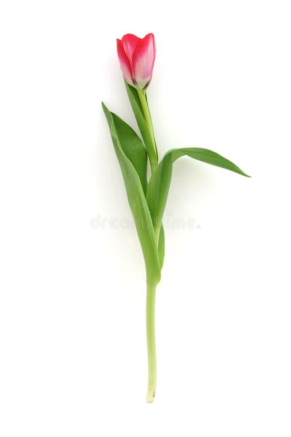 美丽的精美郁金香 库存图片