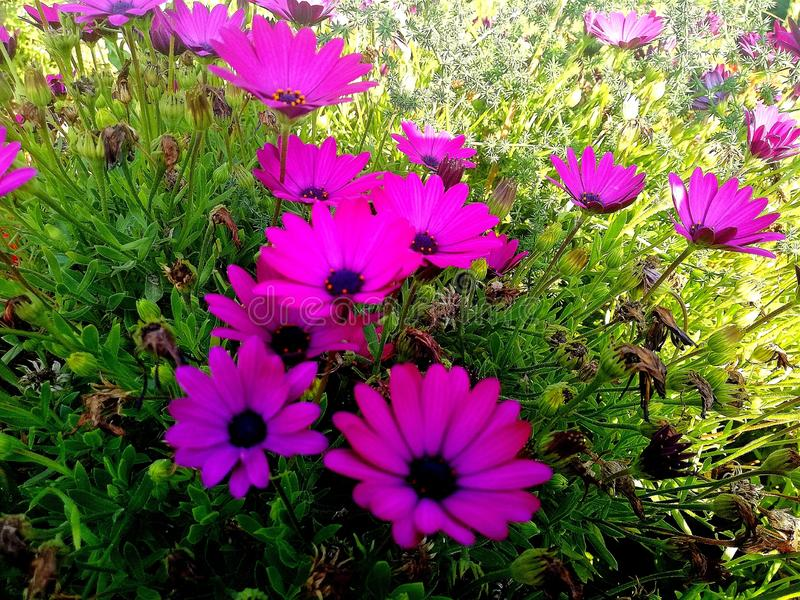 美丽的紫红色的雏菊 免版税库存照片