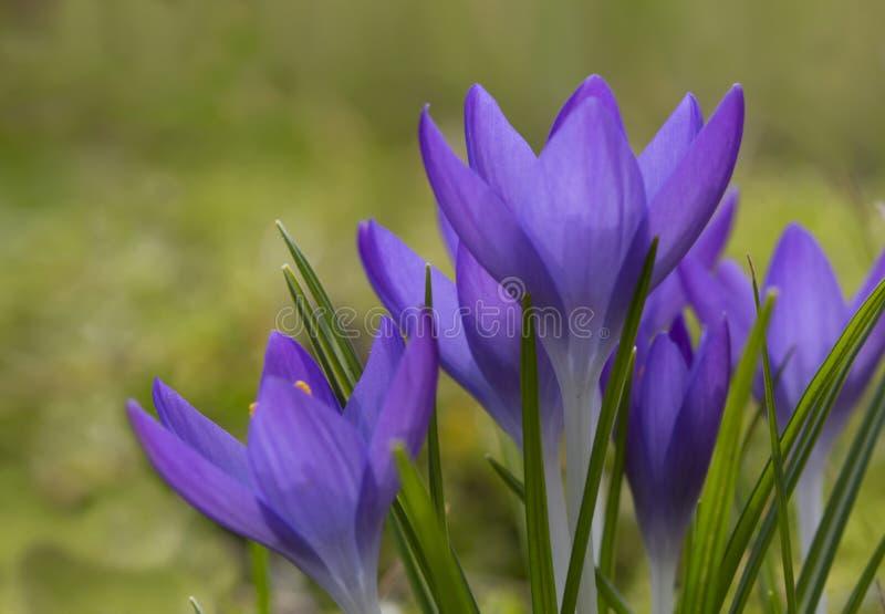 美丽的紫罗兰色番红花花 早期的春天,特写镜头 库存图片