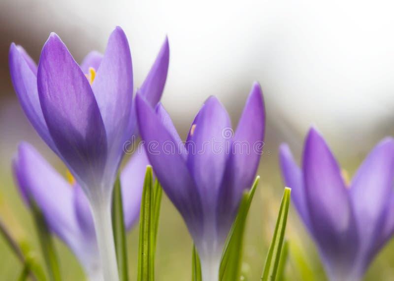 美丽的紫罗兰色番红花花 早期的春天 免版税图库摄影