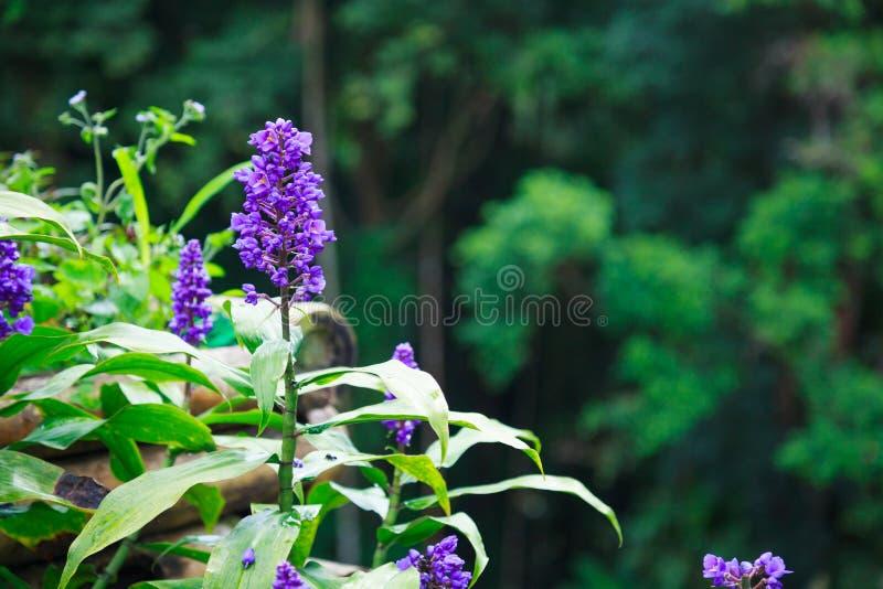 美丽的紫罗兰色紫色麦冬属开花,共同的名字是爬行lilyturf,边界草,爬行麦冬属, lilyturf,大蓝色锂 图库摄影