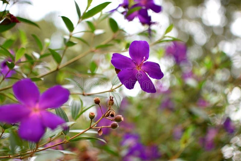 美丽的紫罗兰色花在泰国 免版税库存图片
