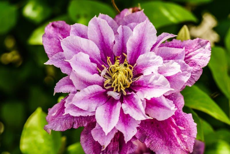 美丽的紫罗兰色铁线莲属,宏观射击,模糊的背景 免版税库存图片