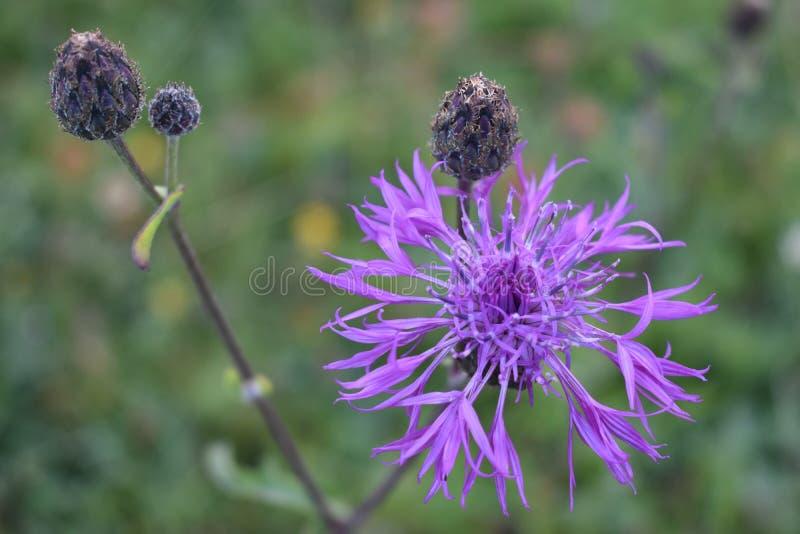 美丽的紫罗兰色颜色山花 免版税库存照片