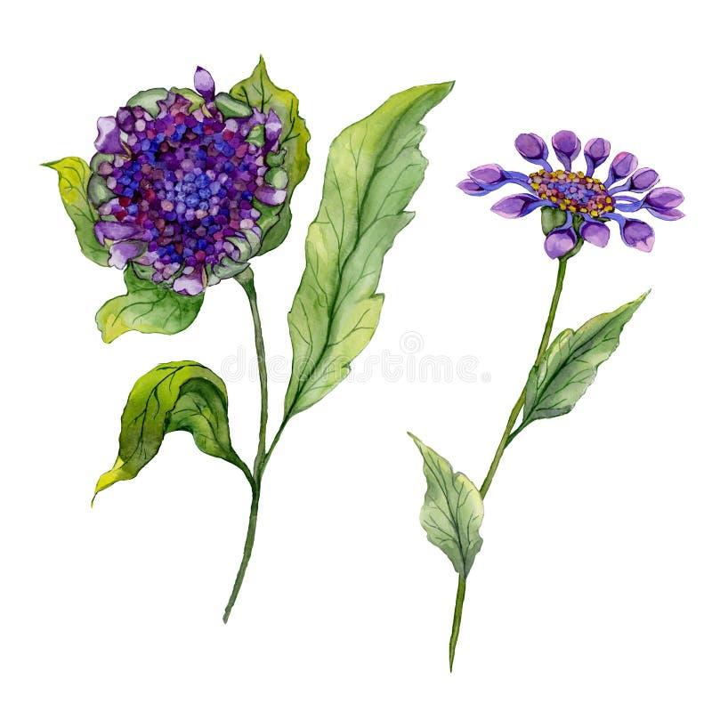美丽的紫色在一个词根的osteospermum南非雏菊花与绿色叶子 背景查出的白色 皇族释放例证