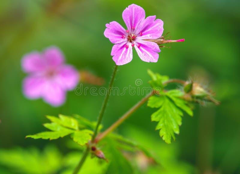 美丽的紫色狂放的森林花 大竺葵robertianum,一般叫作草本罗伯特 免版税库存图片