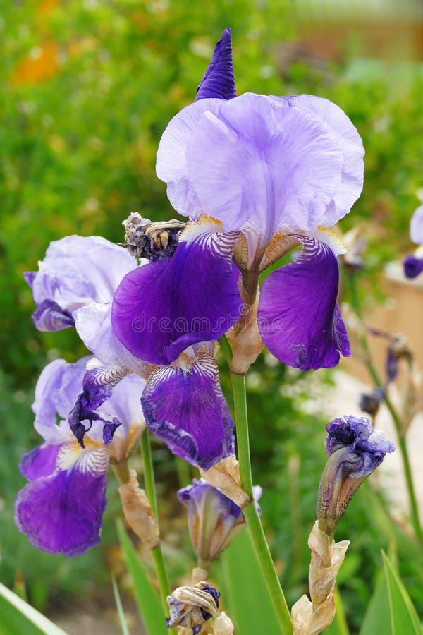 美丽的紫色紫色的火焰虹膜花 库存照片