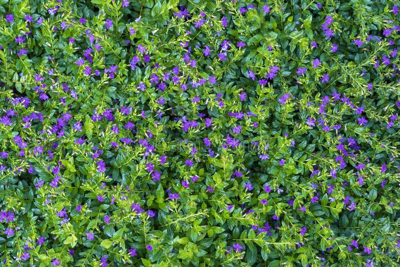 美丽的紫色花和绿色叶子在一个热带庭院里,特写镜头 海岛巴厘岛,印度尼西亚 库存图片
