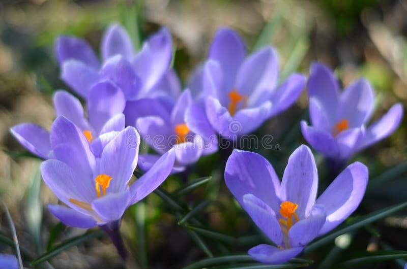 美丽的紫色花在俄罗斯 免版税库存照片