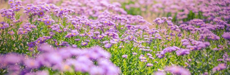 美丽的紫色花,自然夏天背景,模糊的照片 激动人心的自然概念 免版税库存图片