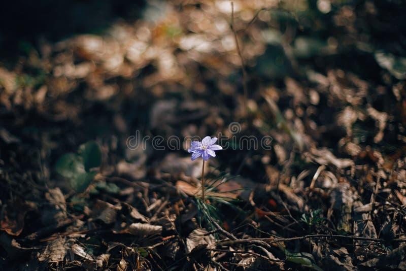 美丽的紫色花hepatica nobilis在晴朗的春天森林 新鲜的第一朵花在温暖的阳光下在森林你好春天 库存图片