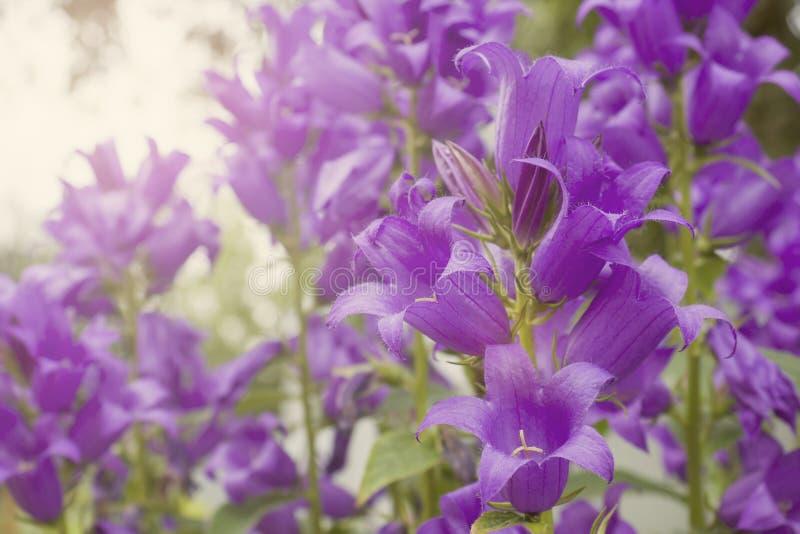 美丽的紫色蓝色在夏天庭院里开花响铃 免版税库存照片