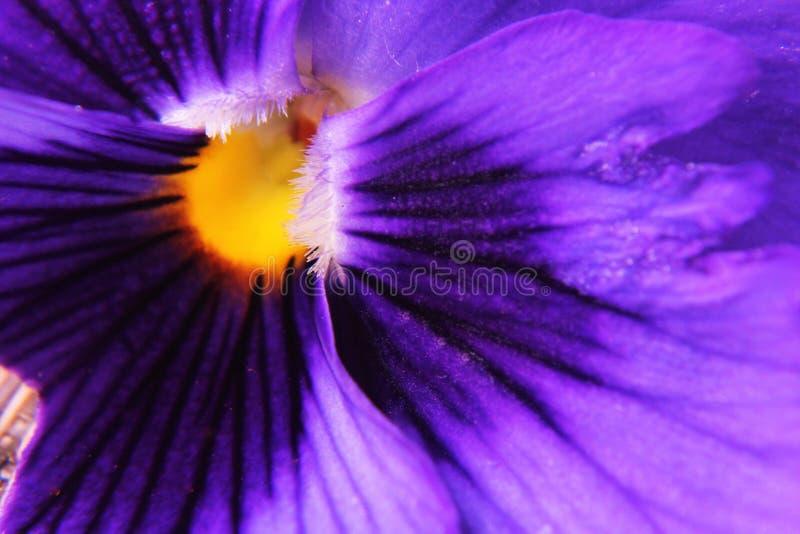 美丽的紫色蝴蝶花 免版税库存图片