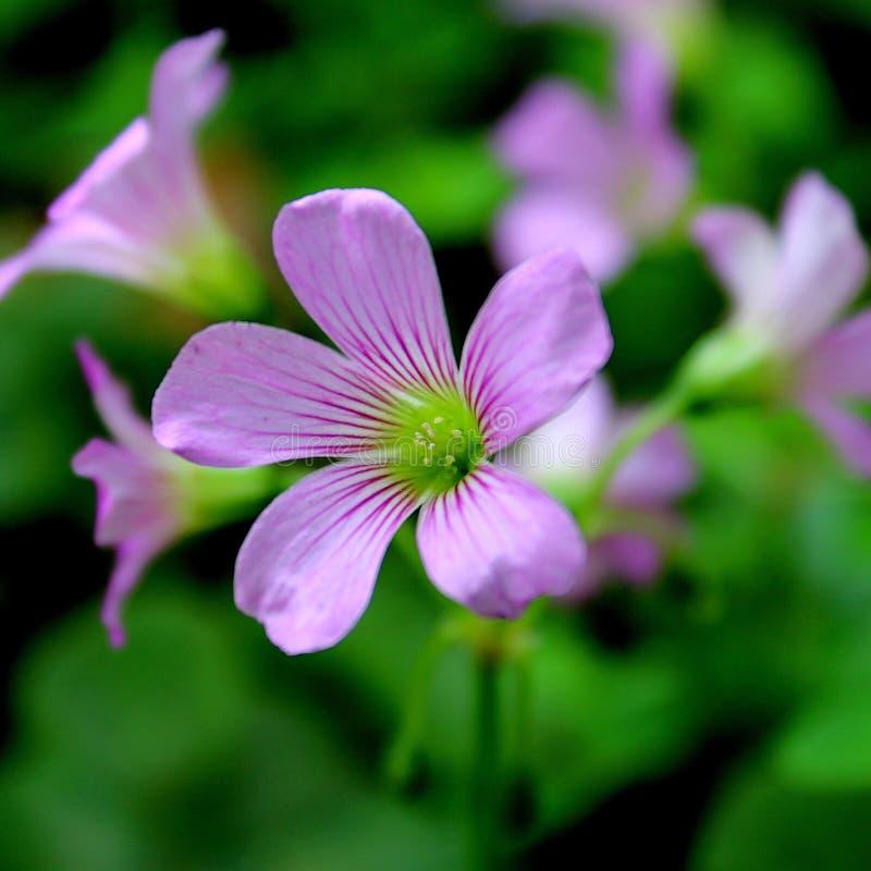 美丽的紫色野花 免版税库存照片