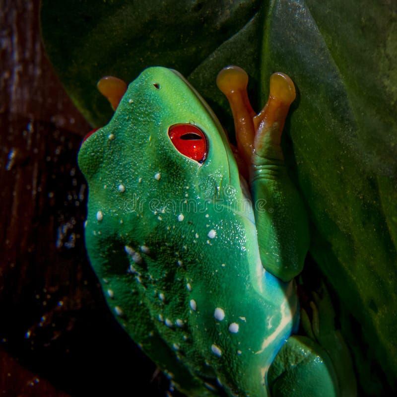 美丽的红眼睛的雨蛙 免版税库存图片